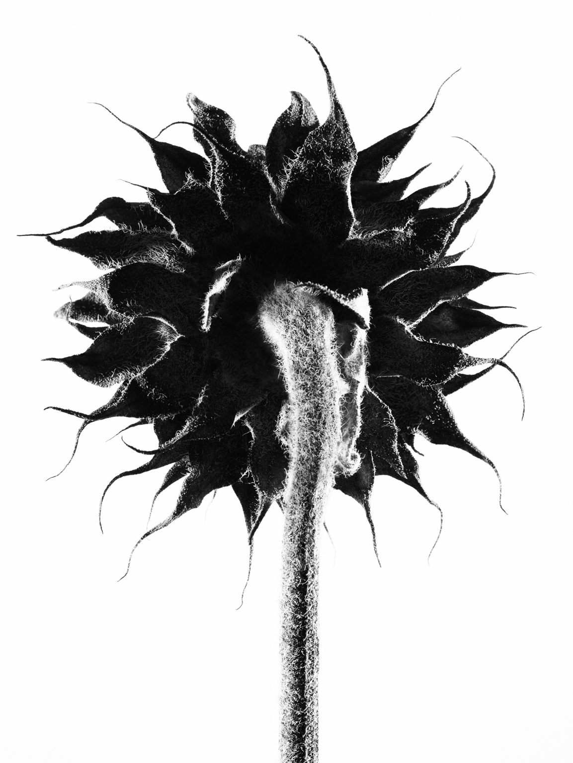 017_11_18_08_dried_sunflower_129_v1bw